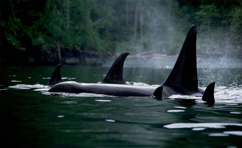 Nageoire dorsale orque 5