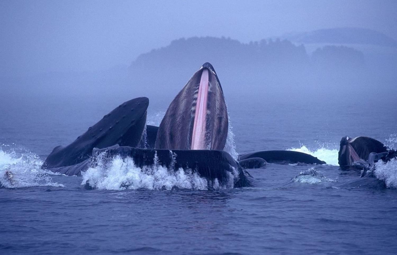 Nourriture baleine