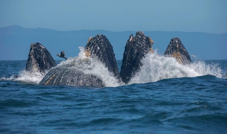 Nourriture de baleine à bosse