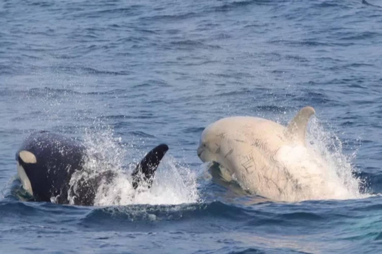 Orque blanche au Japon