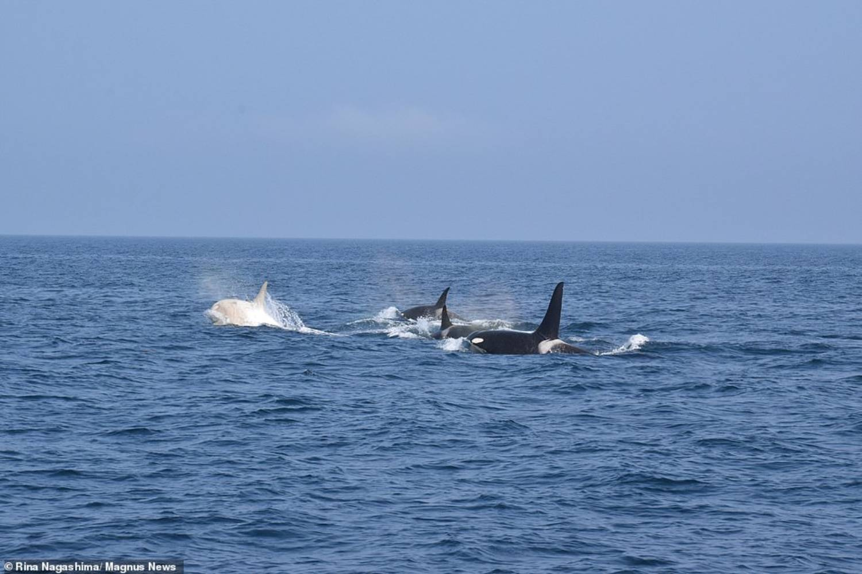 Pod orque blanche Japon