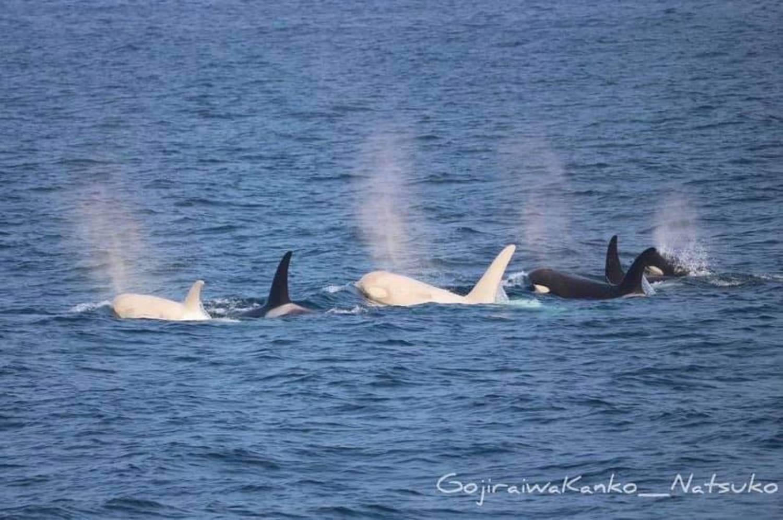 Pod orques blanches Japon