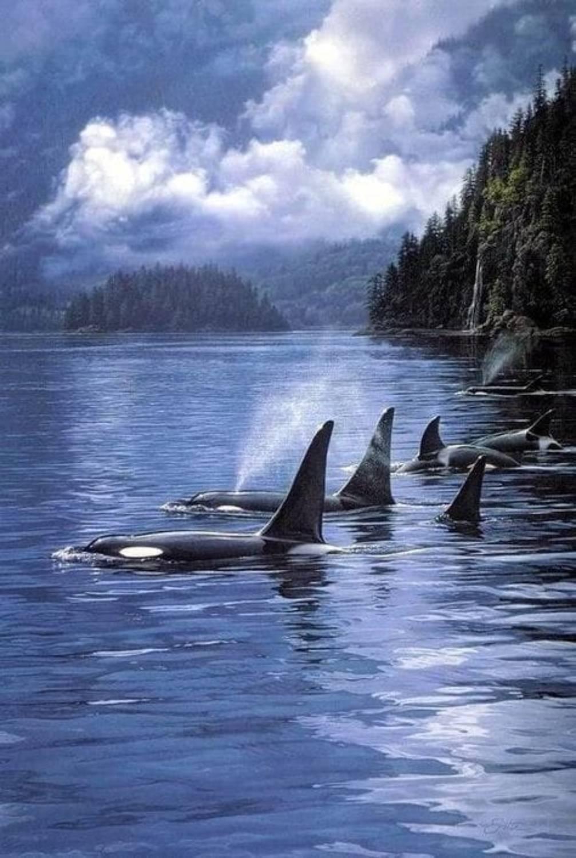Pod d'orques Canada
