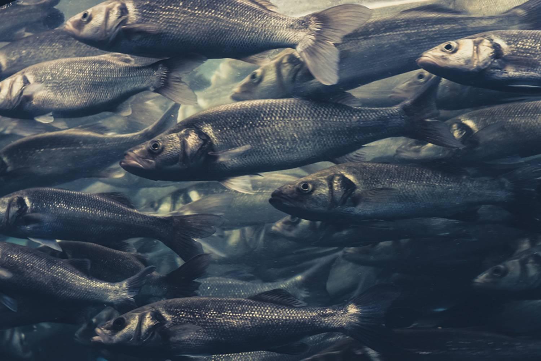 Que mange la baleine : hareng