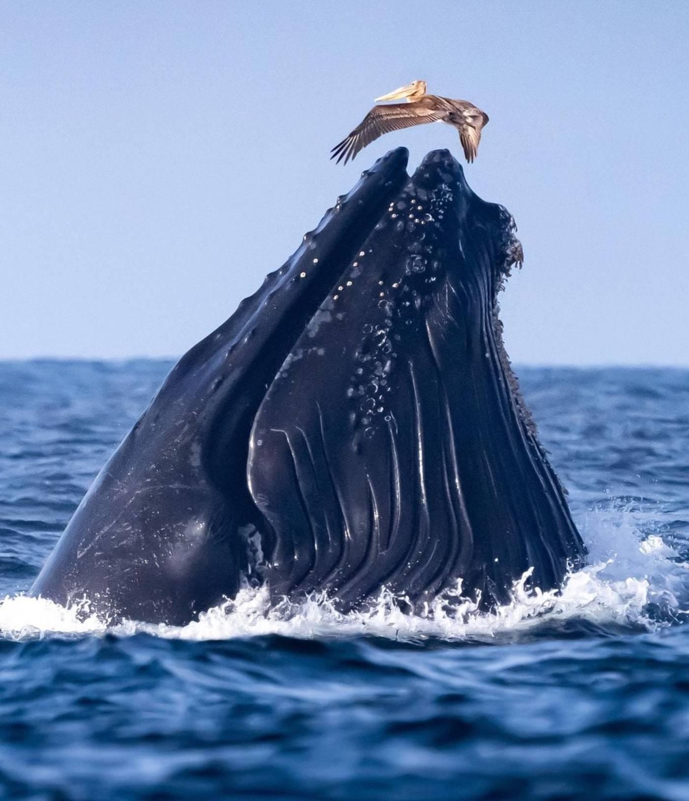 Que mange la baleine pélican