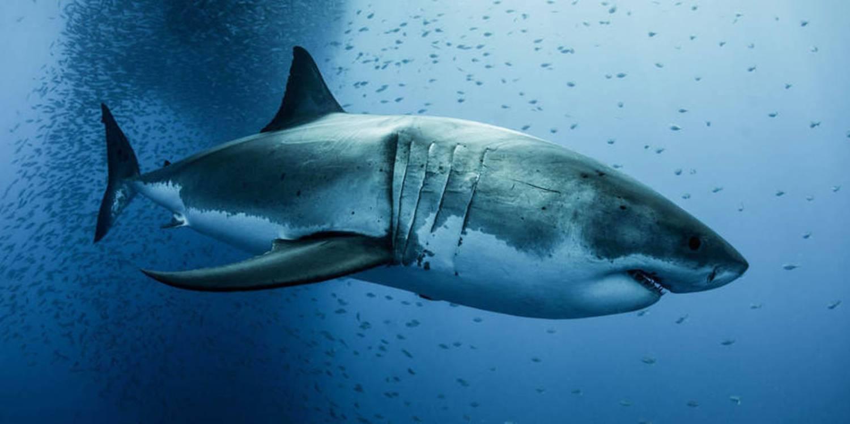 Grand Blanc, Un Requin à Sang Chaud