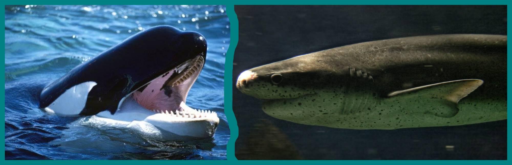 Orque Vs Requin Plat-nez