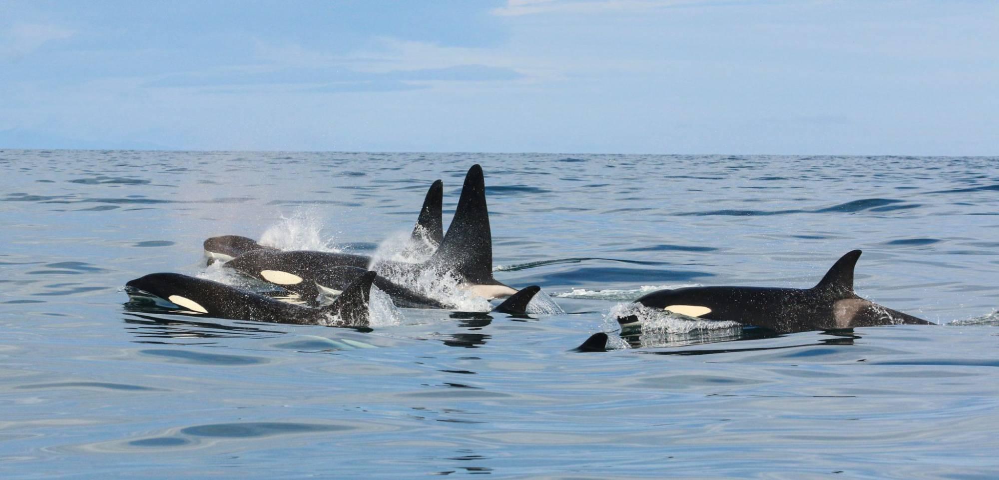 Poursuite Globicéphale Orque Islande