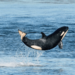 Durée de vie d'une orque