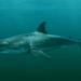 Ancêtre du requin blanc carcharodon hubbelli